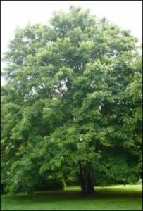 Avalon Grove Tree